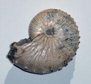 Ammonite Jeletzkytes