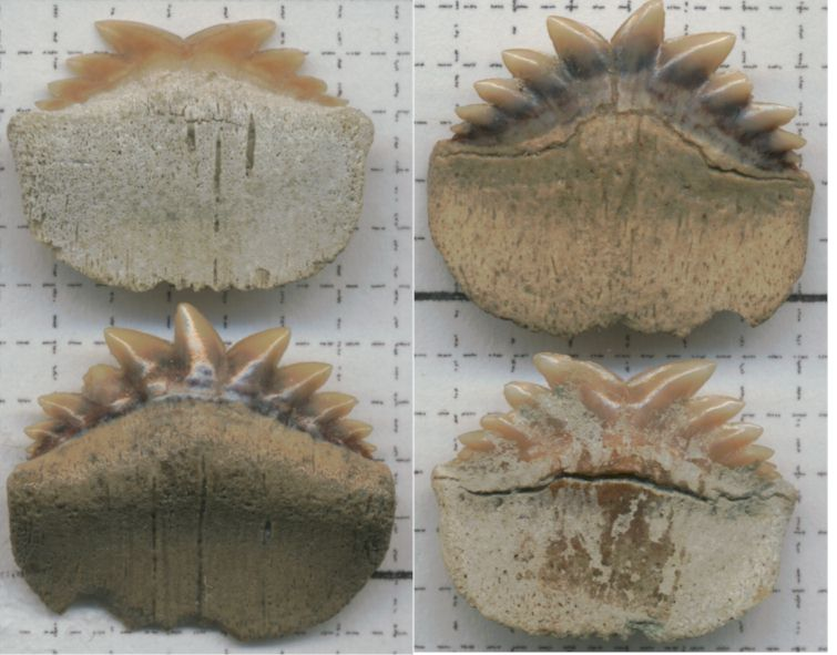 Notorynchus primigenius | Fossil Wiki | FANDOM powered by ...