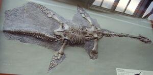 Plesiosaurus hawkinsi NHM
