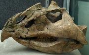 MagnirostrisDodsoni(Skull)-PaleozoologicalMuseumOfChina-May23-08