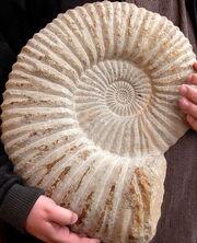 AmmoniteFossil