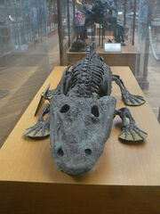 Eryops megacephalus skeleton front