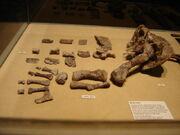 Aetosaur leg fossils