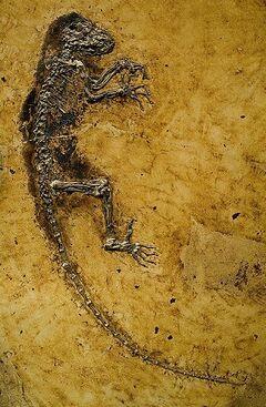 Darwinius masillae2