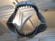 Megalodon Jaws AMNH