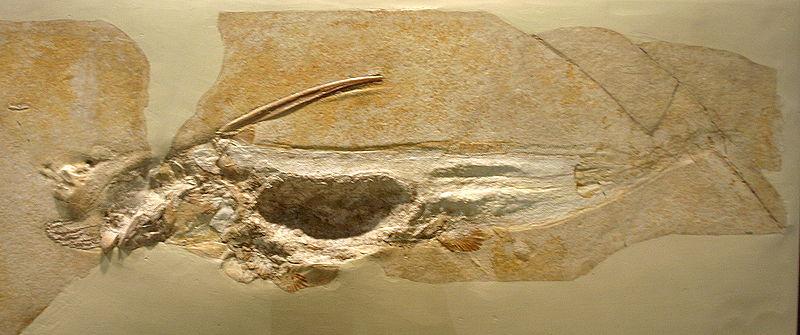 Ischyodus | Fossil Wiki | FANDOM powered by Wikia