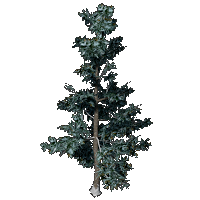 File:White Fir.png
