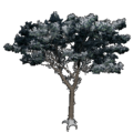 Italian Stone Pine.png