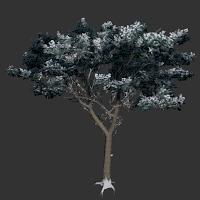 File:Italian Stone Pine.png