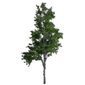 Mountain Maple.png