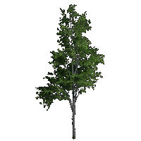 File:Mountain Maple.png