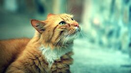 Ws Cute Orange Cat 1366x768