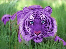 File:Purple tiger by lyster94-d4uni0c.jpg