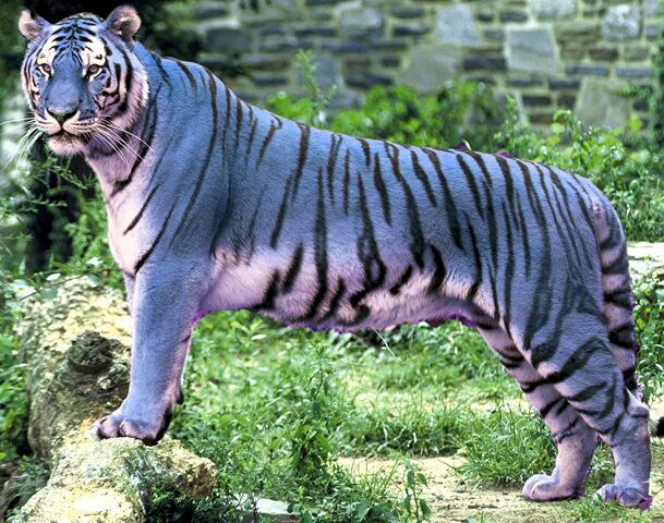 File:Blue tiger (2).jpg