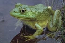 File:Frog 100.png
