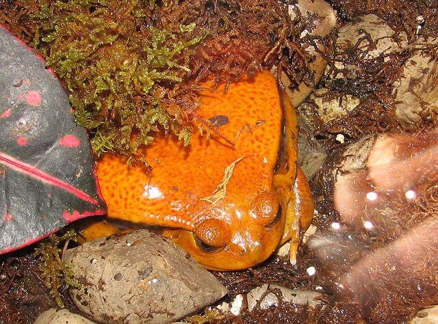File:800px-Tomato Frog-1-.jpg