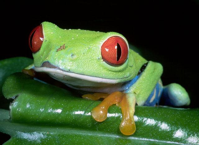 File:ImagesFROG 014 Red-eyed tree frog.jpg