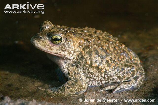 File:Natterjack-toad--1-.jpg