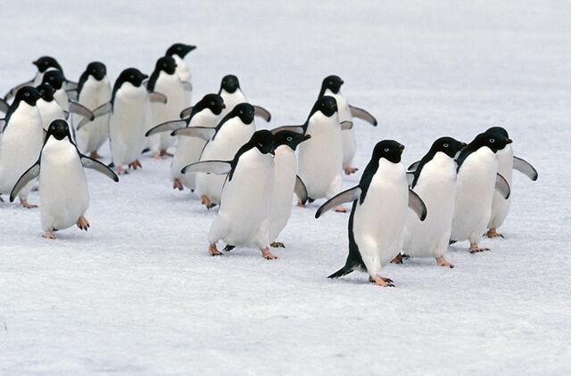 File:Marching-adelie-penguins-lg.jpg