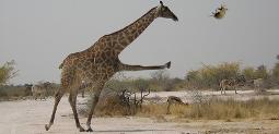 Fichier:Oryctérope girafe.jpg