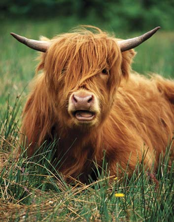 File:Highland cow.jpg