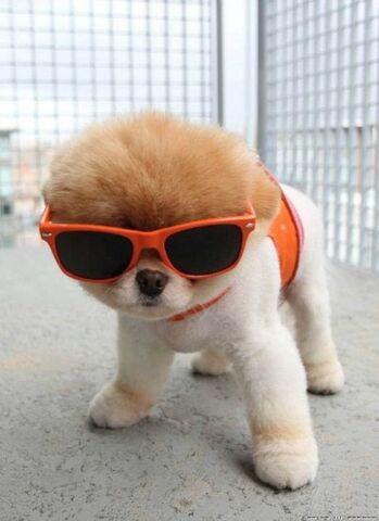 File:Dog-puppy-boo-wearing-glasses-sunglasses-cute.jpg