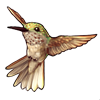 611-brown-hummingbird