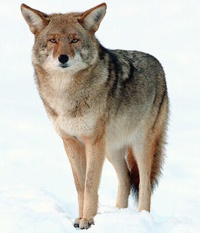 File:Coyote.jpg