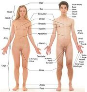 250px-Anterior view of human female and male, with labels