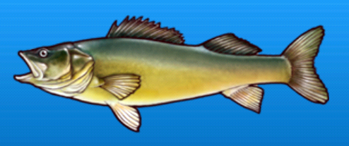 File:Walleye.png