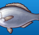 Sea Chub