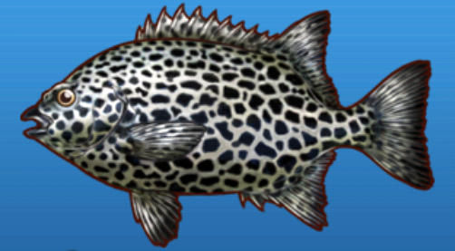 File:Spotted parrotfish.png