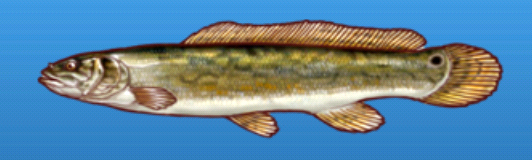 File:Bowfin.png