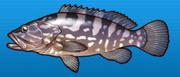 Longtooth grouper