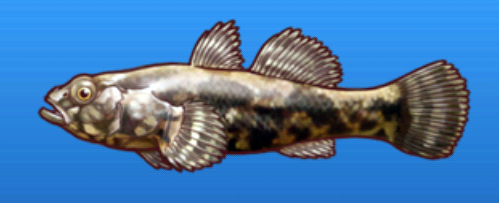 File:Sleeper goby.png