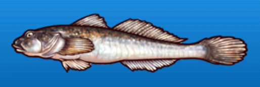 File:Javeline goby.png