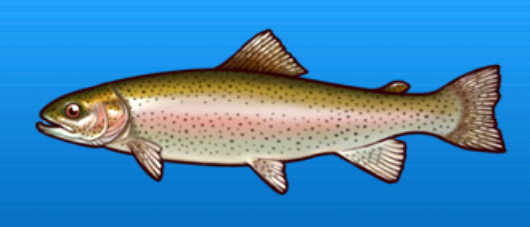 File:Rainbow trout.png
