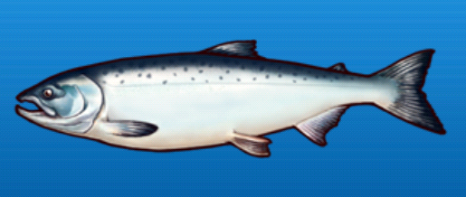 File:Salmon.png