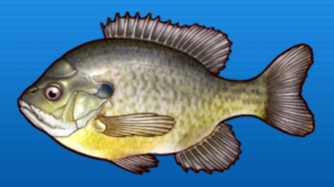 File:Blue gill.png