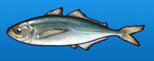 File:Horse mackerel.png