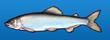 Sweetfish