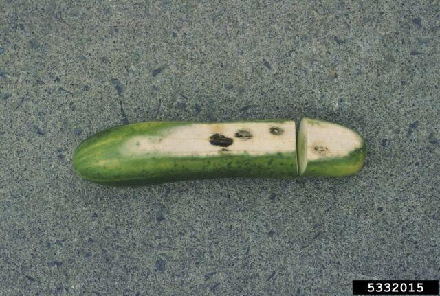 File:Cucumber Sun Scald.jpg