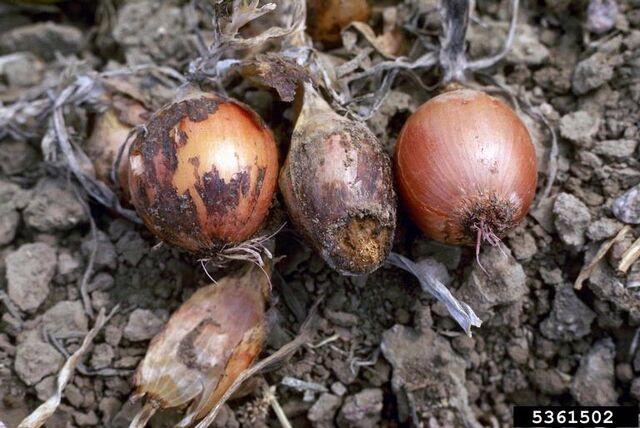 File:Onion Fusarium Damping Off.jpg