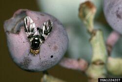 Blueberry fly Rhagoletis mendax