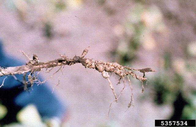 File:Bean Root-Knot Nematode.jpg