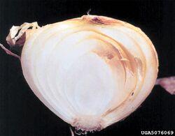 Onion Sour skin Burkholderia cepacia