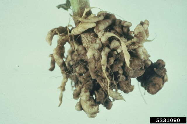 File:Broccoli Club Root.jpg