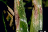 Onion Purple Blotch Alternaria porri leaf