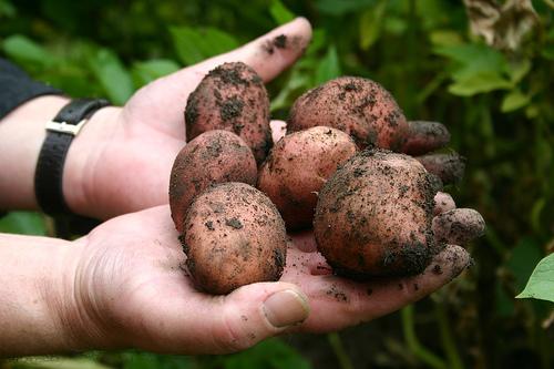 File:King Edward Potato.jpg