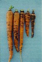 Carrot Violet Root Rot Helicobasidium brebissonii